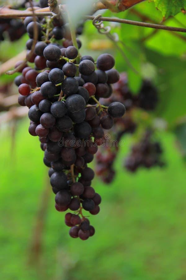 grapevine стоковое фото