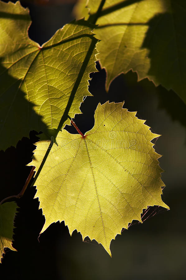 Download Grapevine In The Back Lighting Stock Image - Image: 10739027