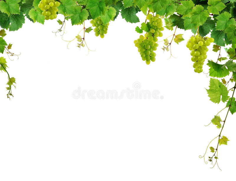 Grapevine border with grapes stock image