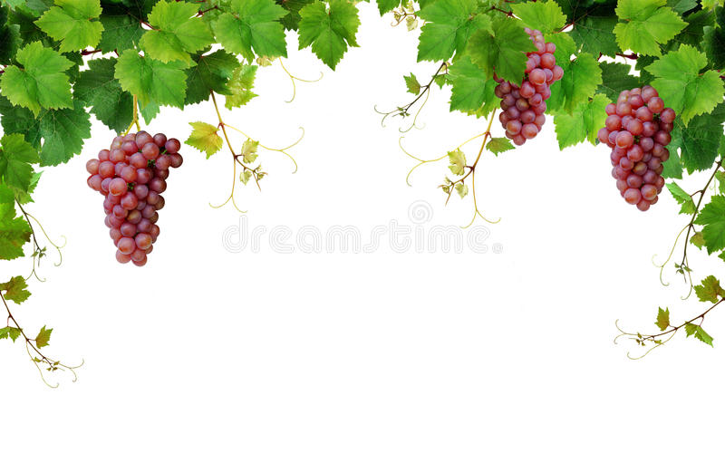 Grapevine border with wine grapes stock photo