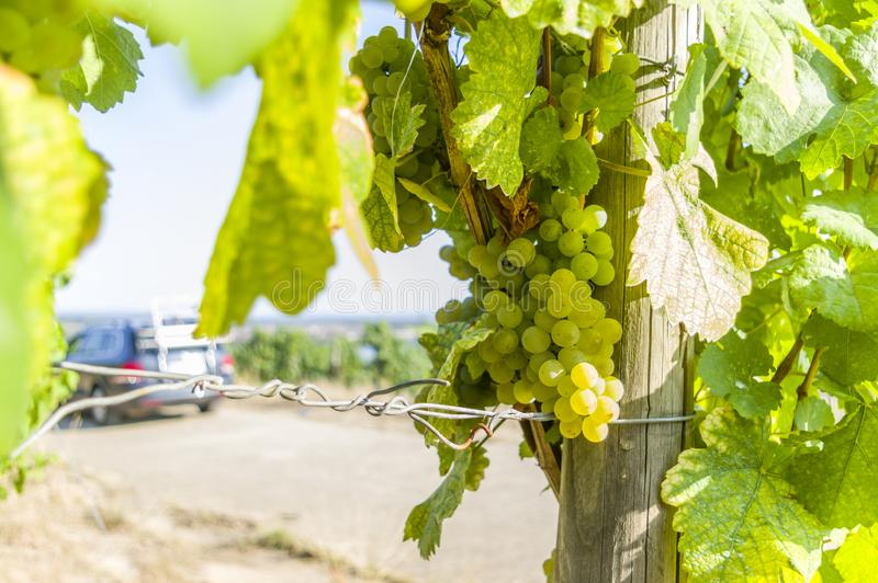 Grapevine with bright grapes and berries in the bright sunshine in the background a vehicle at the excursion and the city Volkach stock photography