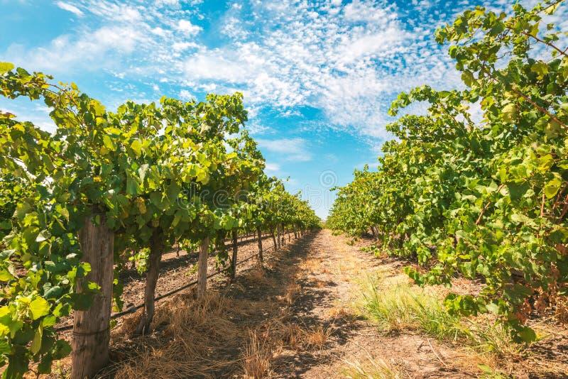 Barossa valley grapevines. Grapevine field in Barossa valley, South Australia stock photos