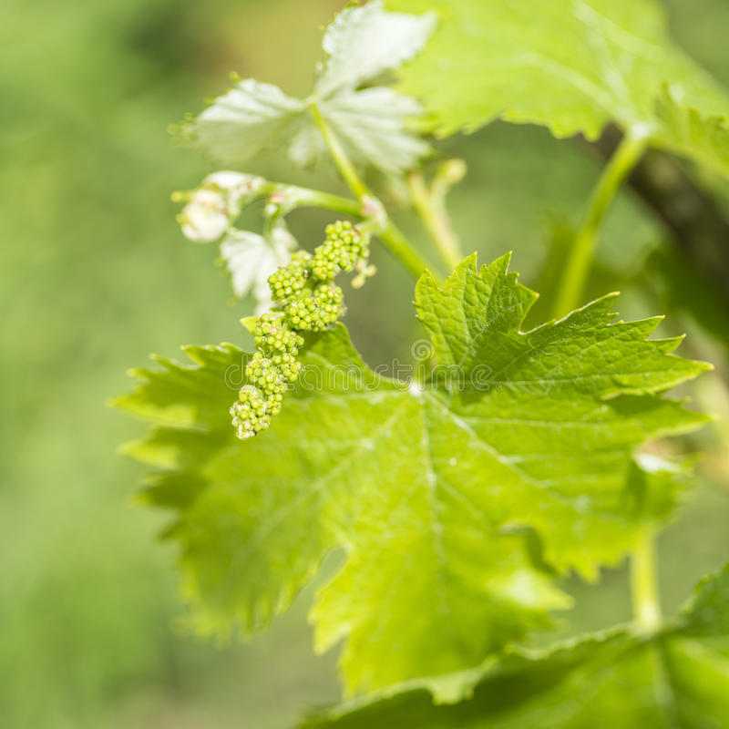 Grapevine flower transformation into a grape berry. In the Northern Hemisphere, this takes place in May and in the Southern Hemisphere in November royalty free stock image