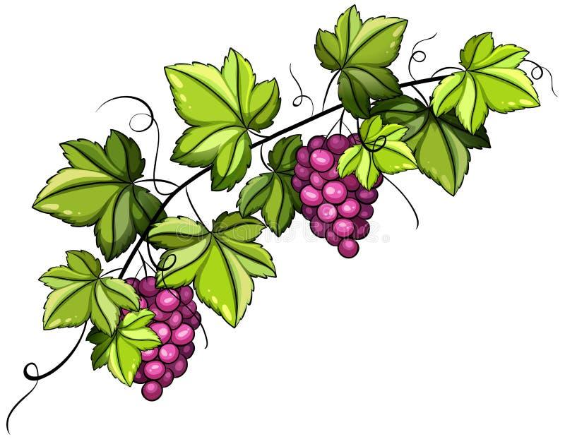 A Grapevine Stock Vector Illustration Of Clustered Vine 50807979