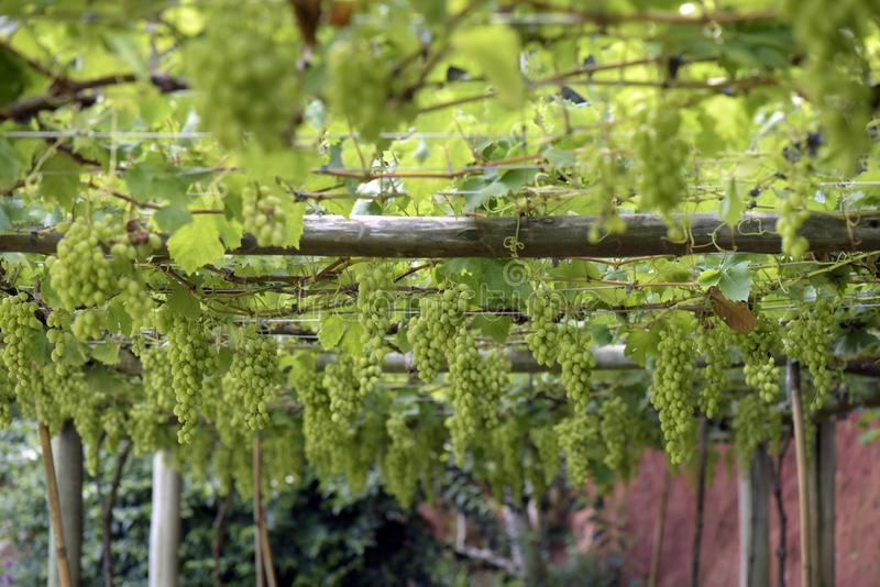 Grapevine full of bunches of green grapes royalty free stock photography