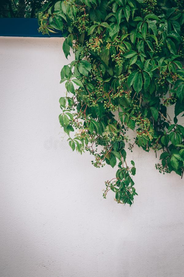 Grapevine with green grapes royalty free stock photo