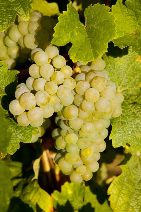 Grapevine Harvest Time Stock Image