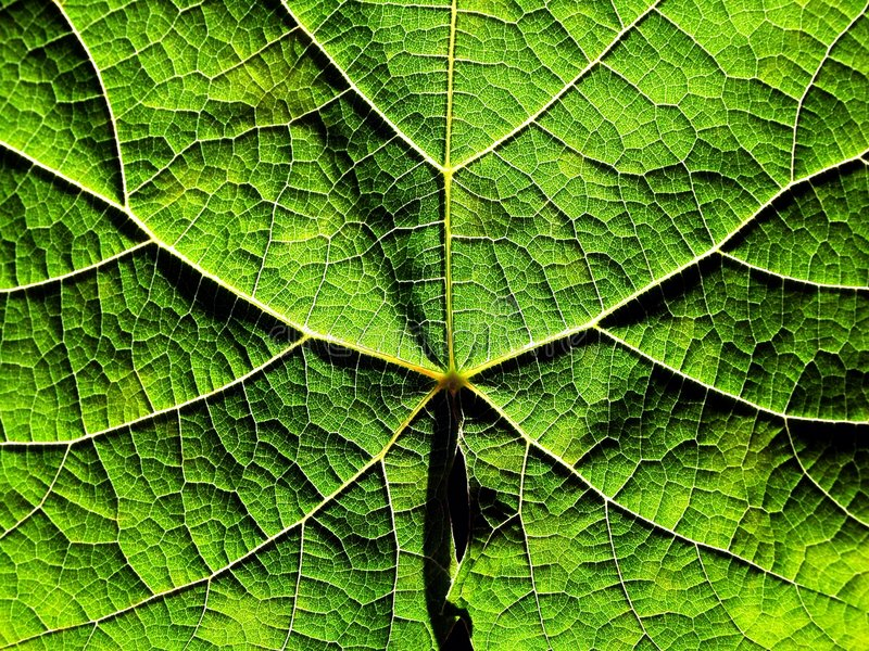 Download Grapevine leaf texture stock photo. Image of nature, textures - 153440