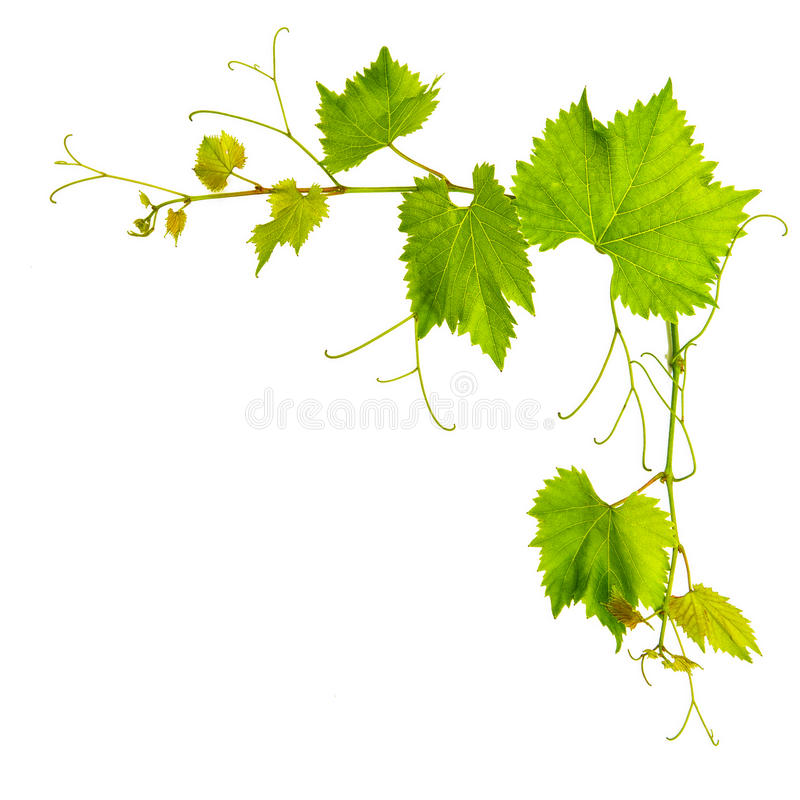Grapevine leaves border isolated on white royalty free stock image