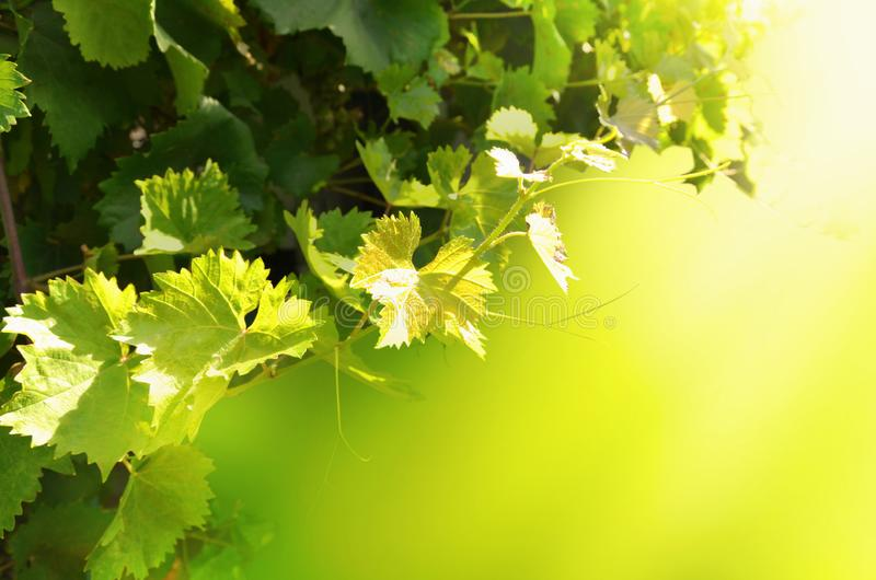 Grapevine with leaves on a bright sunny background. Image stock photography