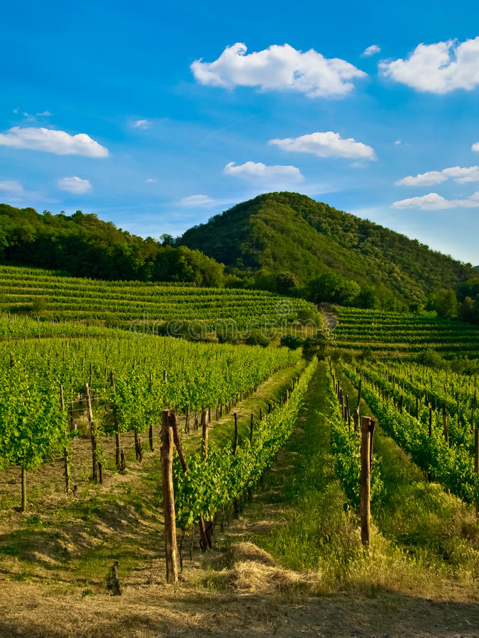 Free Grapevine Plants In A Vineyard Royalty Free Stock Image - 20648816