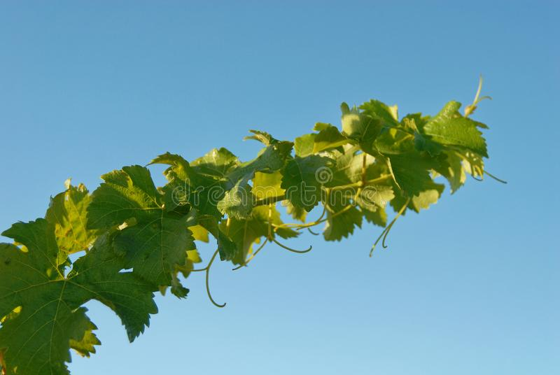 A grapevine reaches for the sky, its tendrils showing against the blue sky royalty free stock photos