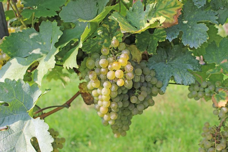 Grapevine ready for harvesting royalty free stock photo