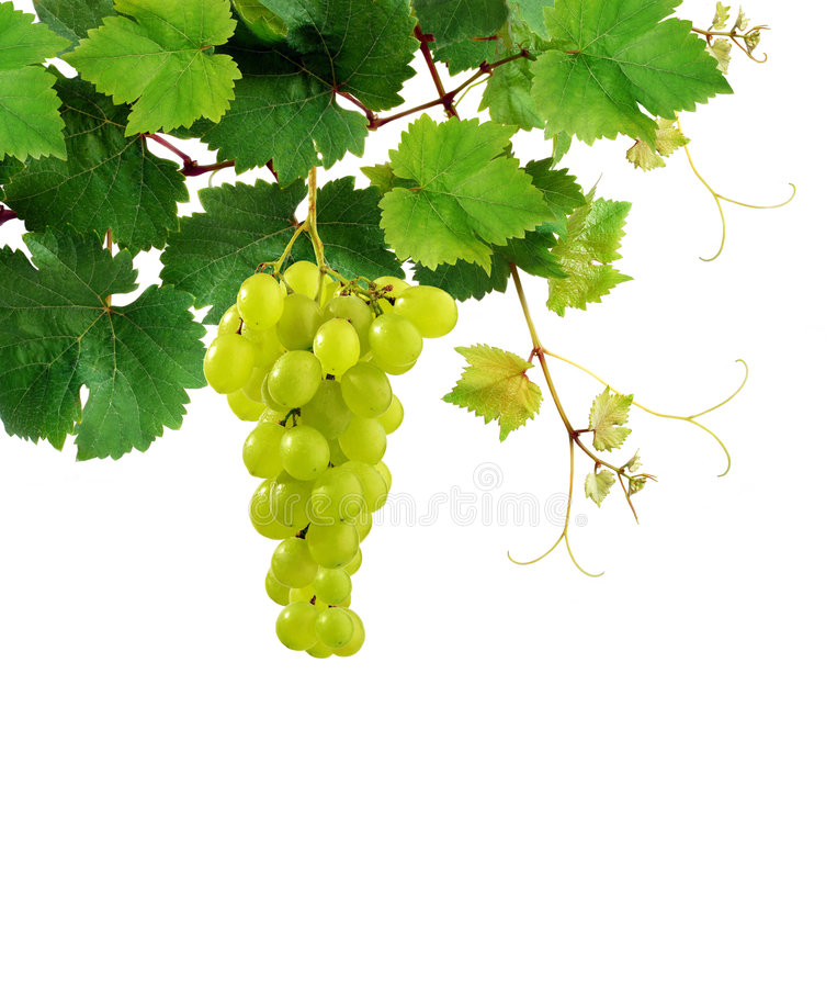 Grapevine with ripe grape cluster royalty free stock image