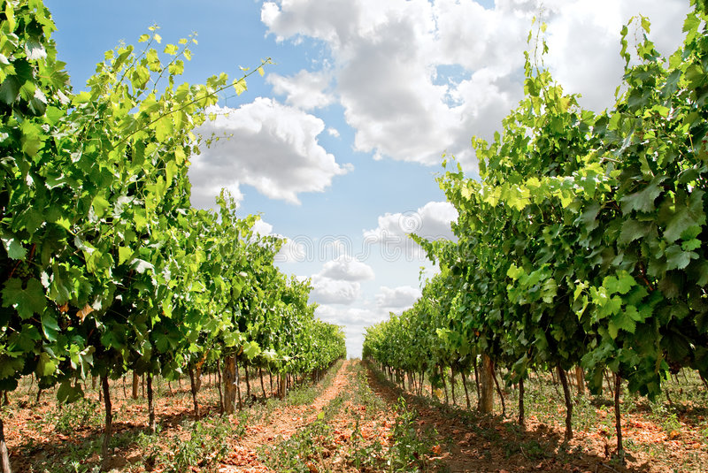Grapevine rows. In tuscany land, italy royalty free stock images