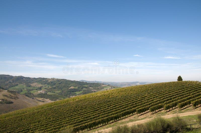 Grapevine rows - Italy royalty free stock photo