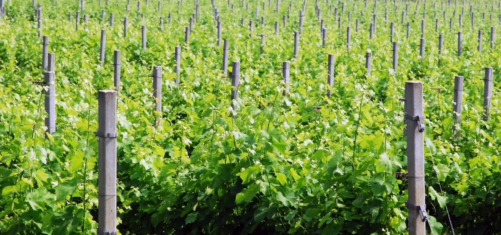 Grapevine rows - Italy stock image
