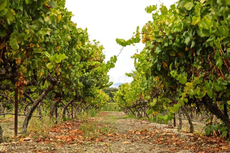 Grapevine rows vineyard royalty free stock photo