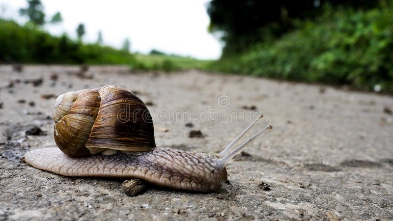 German grapevine snail. A grapevine snail on a hike trail royalty free stock photo