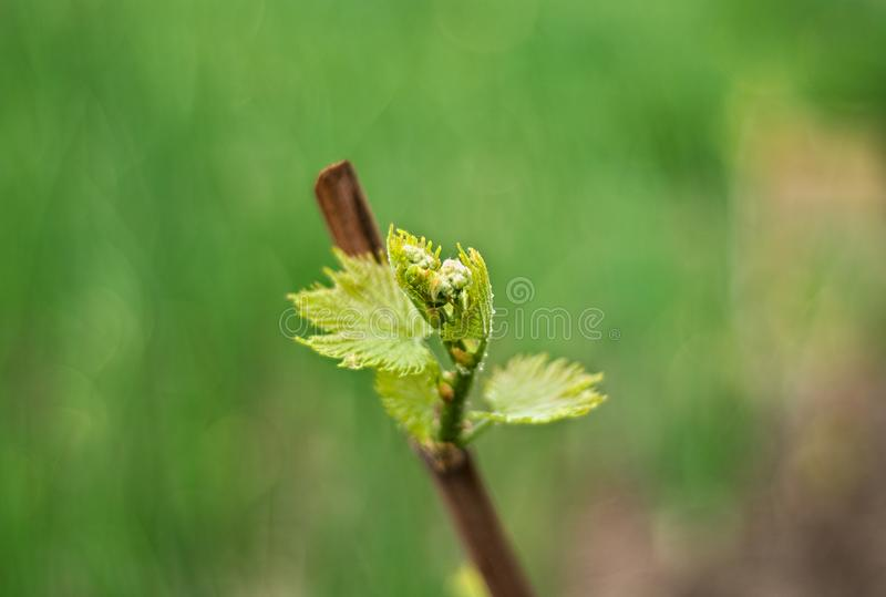 Grapevine starting vegetation in early spring, closeup royalty free stock photos