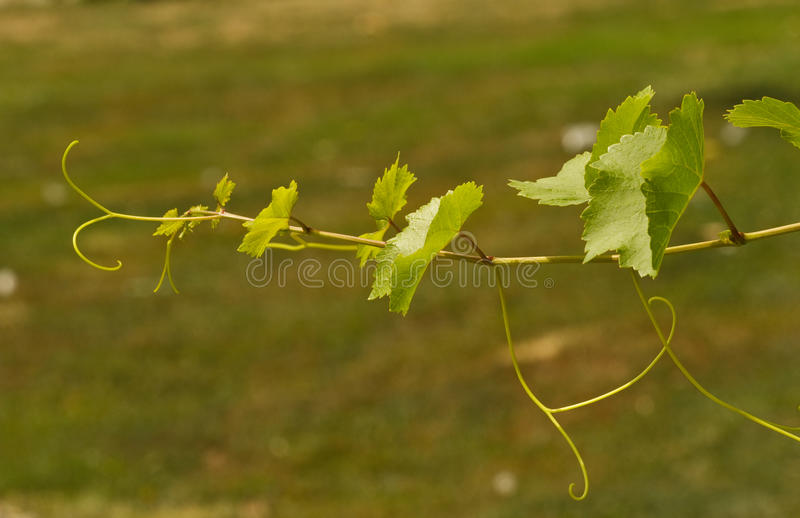 Download Grapevine on a sunny day stock photo. Image of countryside - 25943092