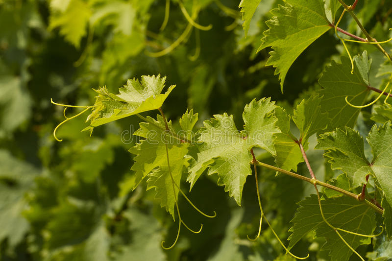 Download Grapevine on a sunny day stock photo. Image of plant - 25943292