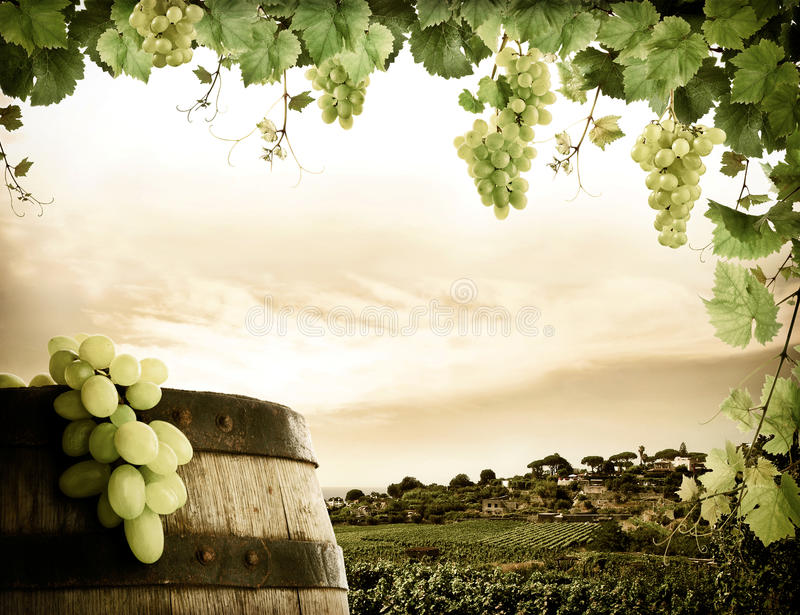 Download Grapevine and vineyard stock photo. Image of cloud, grapes - 18083278