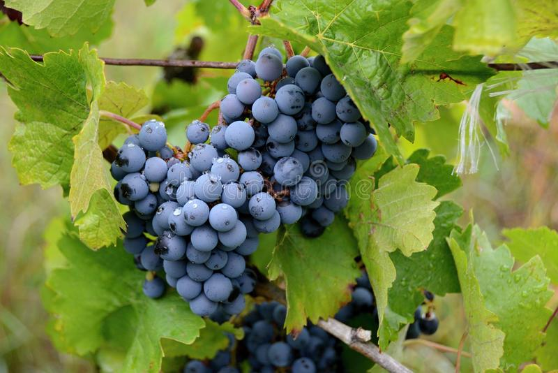 Grapevine on a vineyard, berries for making red wine royalty free stock images