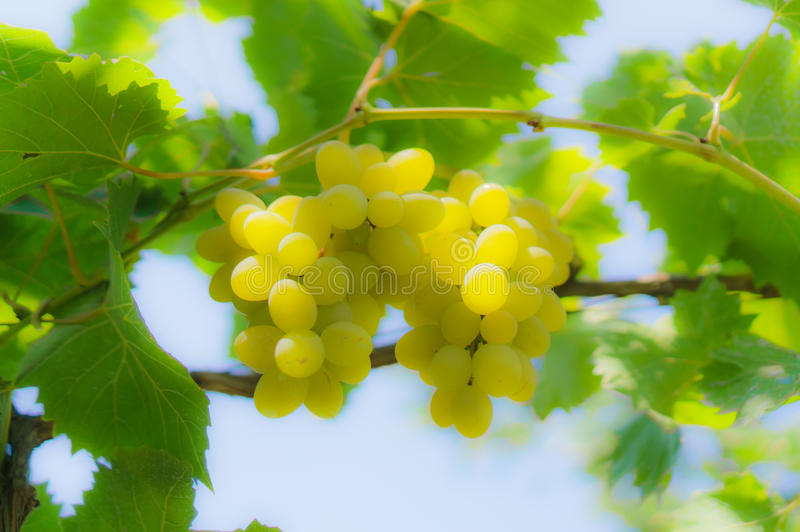 Grapevine vist the branch royalty free stock photography