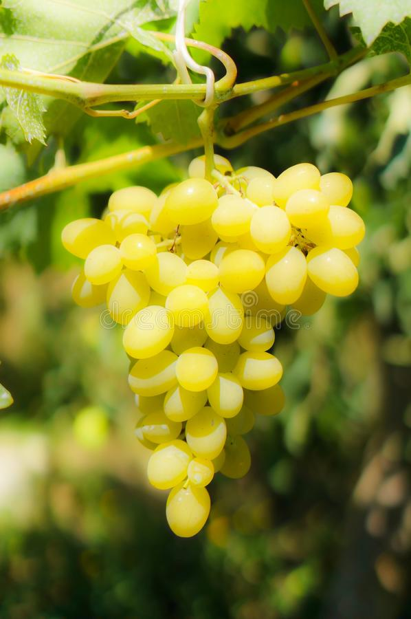 Grapevine vist the branch 2 stock images