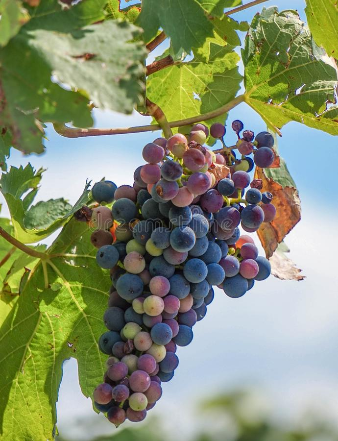 Grapevines on the grapevine royalty free stock photography