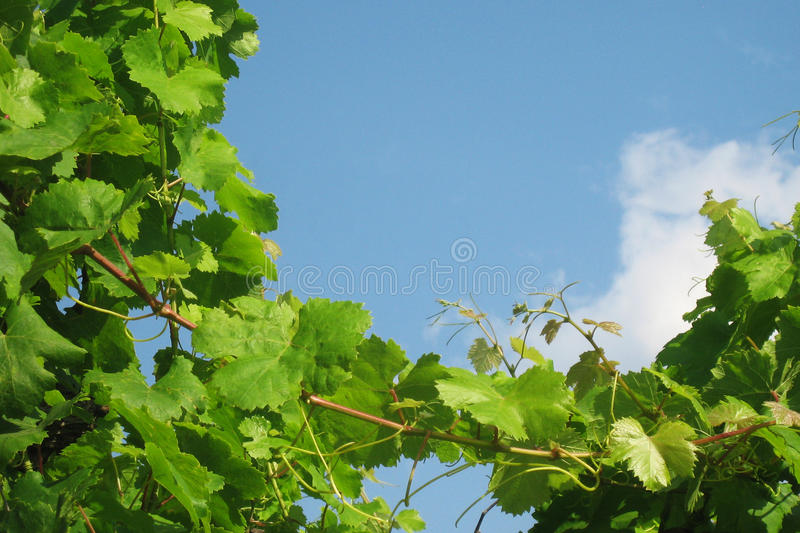 Grapevines in southern Italy stock photos