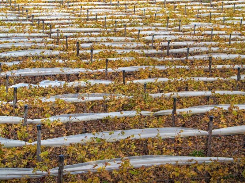 Grapevines. Turi. Puglia. stock images
