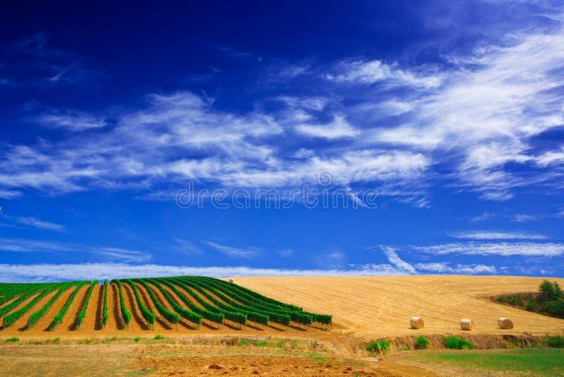 grapewine意大利托斯卡纳葡萄园 免版税库存图片