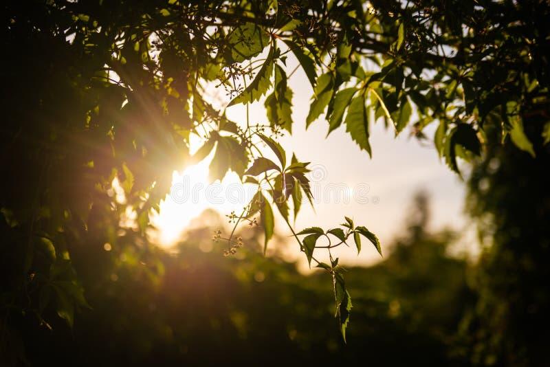 Grapewine lascia la siluetta con la luce luminosa del sole nei precedenti Foglie dell'uva con il tramonto sul secondo piano fotografia stock libera da diritti