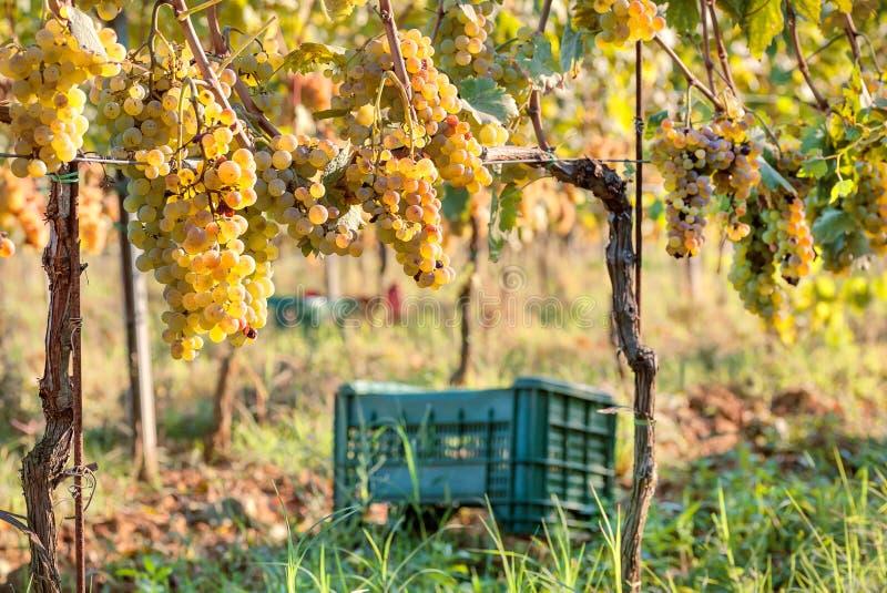 Grapeyard med den plast- skördasken för druva Ggreen dal med wineyards arkivbilder