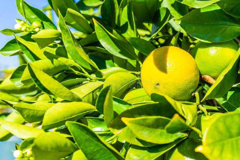Graphfruit auf einem Baum lizenzfreie stockbilder