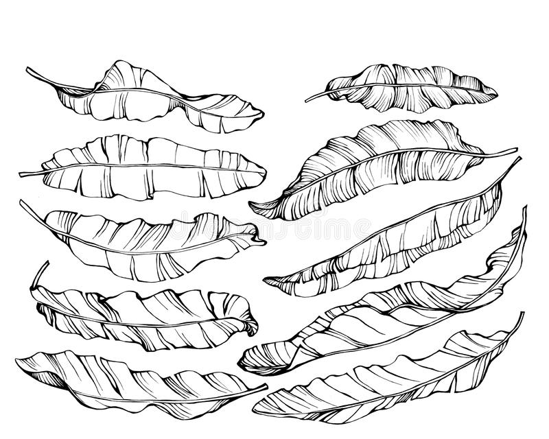 Graphic the set exotic tropical banana leaves. royalty free illustration