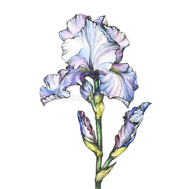 Free Graphic The Branch Flowering Light Blue Iris With Bud. Black And White Outline Illustration With Watercolor Hand Drawn Painting. Stock Photography - 94166412