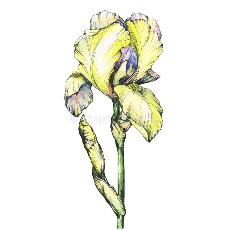 Free Graphic The Branch Flowering Yellow Iris With Bud. Black And White Outline Illustration With Watercolor Hand Drawn Painting. Stock Photography - 94166252