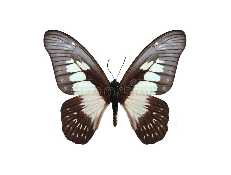 Download Graphium Agamedes (Westwood's White-lady) Stock Photo - Image: 18259802
