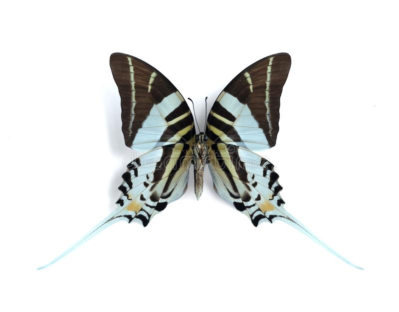 Graphium (Pathysa) androcles (underside) royalty free stock photo