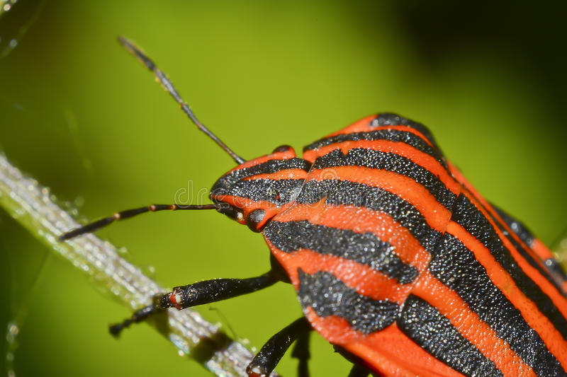 Download Graphosoma Lineatum stock photo. Image of family, bokeh - 23773686