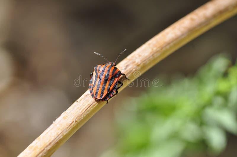Graphosoma Lineatum - Chinche Rayada Free Public Domain Cc0 Image
