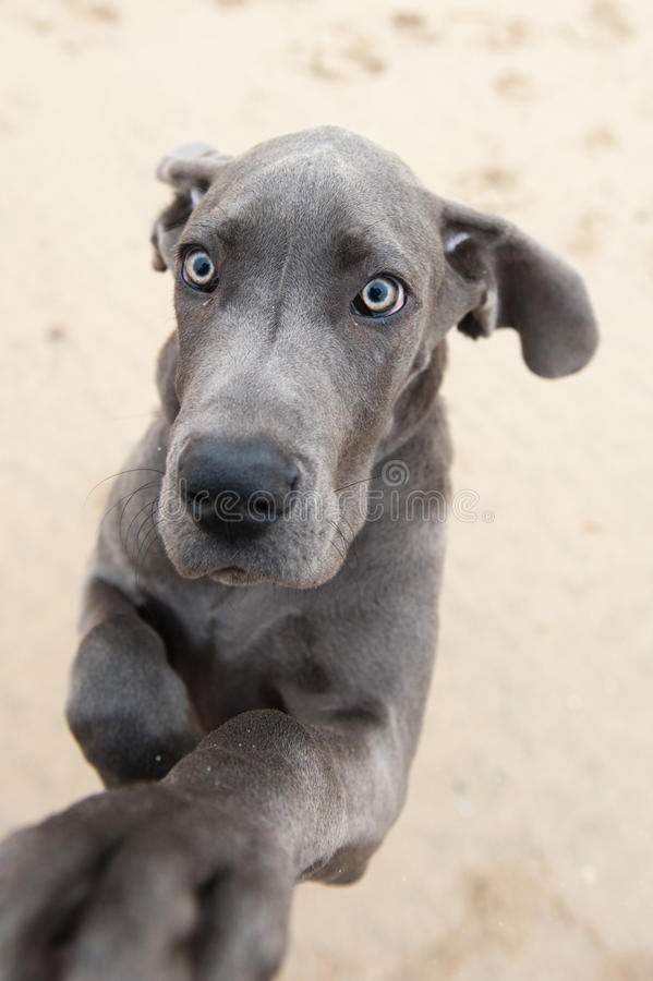 Grappig beeld van een groot puppy van de Deen stock fotografie