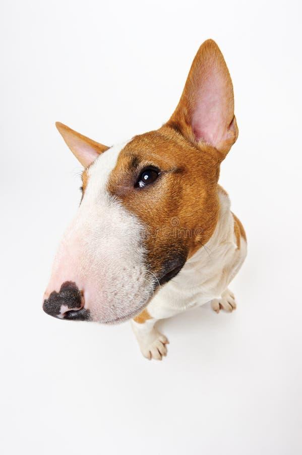 Grappig bull terrier royalty-vrije stock afbeeldingen