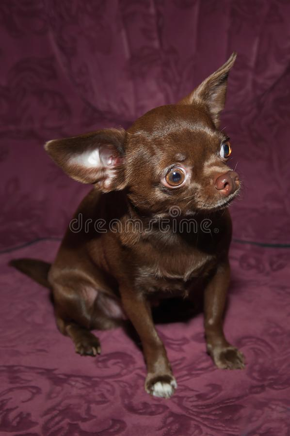 Grappig chihuahuapuppy op de bank stock foto's