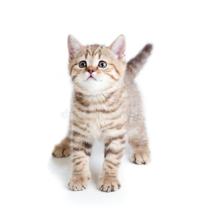 Grappig de kattenkatje van de huisdierenbaby op witte achtergrond royalty-vrije stock fotografie