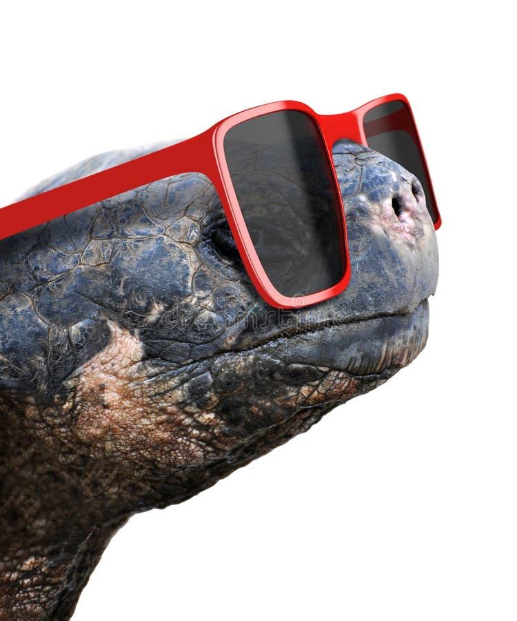Grappig dierlijk portret van een oude schildpad van de Galapagos met grote rode nerdy zonnebril royalty-vrije stock afbeelding