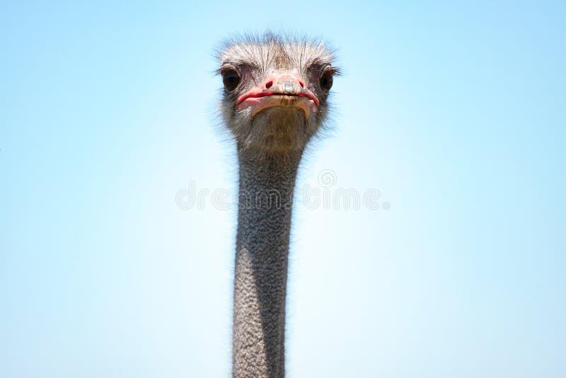 Grappig geïsoleerd struisvogelhoofd stock afbeelding
